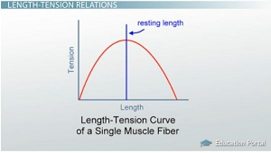 length-tension-curve